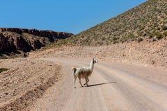 Neer Salar de Uyuni, Bolivia dell'alpaca Fotografie Stock Libere da Diritti