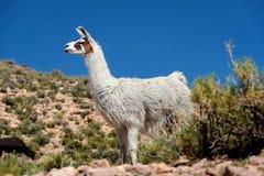 Neer Salar de Uyuni, Bolivia dell'alpaca Immagine Stock Libera da Diritti