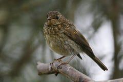 Neergestreken Dunnockvogel Royalty-vrije Stock Foto's