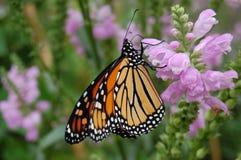 Neergestreken monarchvlinder Stock Foto's