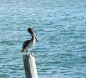 Neergestreken pelikaan Royalty-vrije Stock Foto