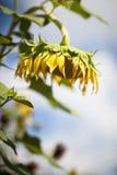 Neerhangende zonnebloem Stock Foto