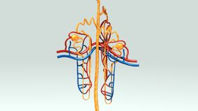 Nefrone illustrazione vettoriale