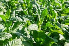 Negócio da folha do cigarro na plantação do cigarro Fotos de Stock Royalty Free
