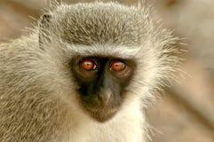 Negócio de macaco Fotografia de Stock Royalty Free