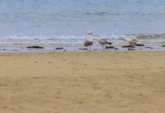 Negação do Laridae de 3 gaivotas imagem de stock