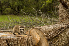 Negative effects of Deforestation. A baby raccoon searching for his family after clear cutting the forest royalty free stock photography