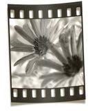 negative för filmstripblommamakro Arkivfoto