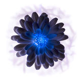 Negative side of zinnia Stock Images