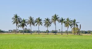Negen kokospalmen stock foto