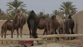 negev Израиля фермы дромадера пустыни верблюда акции видеоматериалы
