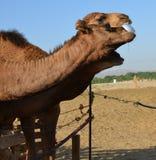 negev Израиля фермы дромадера пустыни верблюда Стоковые Фото