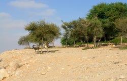 Negev desert of southern Israel. Green Garden in Sde Boker. Animals Nubian ibex Capra nubiana sinaitica eat grass and foliage.  stock image