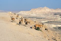 Negev desert of southern Israel in summer. Herd of Nubian ibexes Capra nubiana sinaitica royalty free stock photos