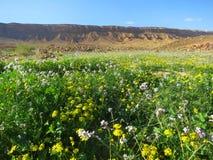 Negev woestijn in bloei; Negev desert in bloom; Mitzpe Ramon crater; Israel royalty free stock photography