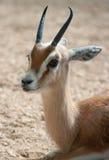 Neglecta dos dorcas do Gazella Fotografia de Stock Royalty Free