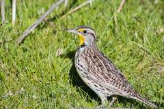 Neglecta occidentale di Meadowlark Sturnella fotografia stock libera da diritti
