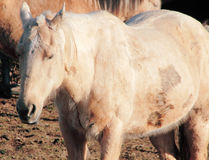 Neglected, Abused and Injured Horse Stock Image