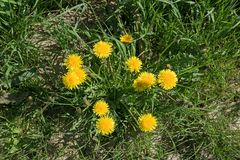 Neglected garden bed with yellow blooming dandelion weed and gra Stock Photos