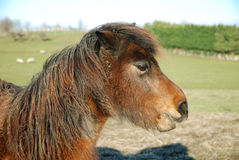 Neglected pony. New arrival at an animal rescue centre royalty free stock photo