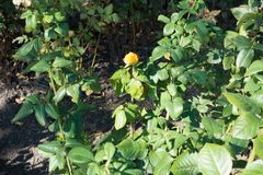 Neglected yellow rose bush in the garden Royalty Free Stock Image