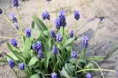 Neglectum azul do muscari no jardim adiantado da mola imagens de stock