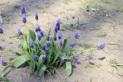 Neglectum azul do muscari no jardim adiantado da mola fotos de stock royalty free