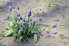 Neglectum azul do muscari no jardim adiantado da mola foto de stock