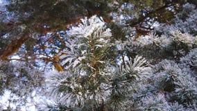 Negli aghi attillati verdi del gelo severo del parco di inverno coperti di primo piano di brina video d archivio