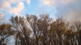 Negli alberi alti del parco di autunno con le foglie ingiallite contro un cielo blu con le nuvole bianche stock footage