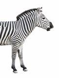 Negociações da zebra isoladas sobre o whit Imagens de Stock Royalty Free