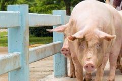 Negocio de la granja de los cerdos en estilo tradicional fotos de archivo