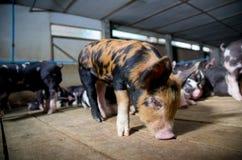 Negocio del cerdo Granja de los cerdos con el nombre negro Berkshire del cerdo Fotografía de archivo