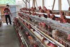 Negocio del ganado del pollo imagenes de archivo