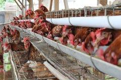 Negocio del ganado del pollo imagen de archivo