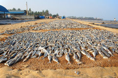 Negombo fish market. Drying fish at Negombo new fish market Royalty Free Stock Photos
