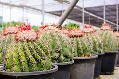 Negozio dell'albero del cactus con l'allevamento nella casa Fotografie Stock Libere da Diritti