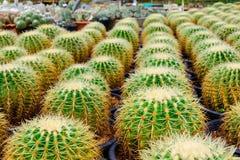 Negozio dell'albero del cactus con l'allevamento nella casa Immagine Stock Libera da Diritti