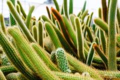 Negozio dell'albero del cactus con l'allevamento nella casa Fotografia Stock Libera da Diritti