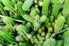 Negozio dell'albero del cactus con l'allevamento nella casa Fotografia Stock