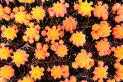 Negozio dell'albero del cactus con l'allevamento nella casa Immagine Stock