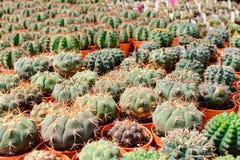 Negozio dell'albero del cactus con l'allevamento nella casa Immagini Stock