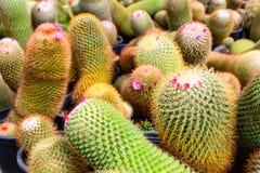 Negozio dell'albero del cactus con l'allevamento nella casa da vendere Fotografie Stock Libere da Diritti