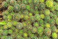 Negozio dell'albero del cactus con l'allevamento nella casa da vendere Fotografie Stock