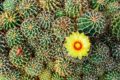 Negozio dell'albero del cactus con l'allevamento nella casa da vendere Fotografia Stock