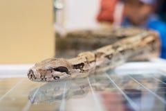 Negozio di animali di vetro del dettaglio della testa del serpente del boa constrictor fotografia stock libera da diritti
