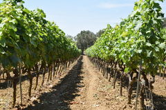 Negramaro vinranka och olivträd Arkivfoton