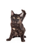 Negro alerta y Tan Domestic Longhair Kitten Foto de archivo