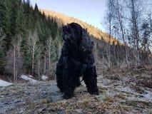 Negro cocker spaniel del perro foto de archivo libre de regalías