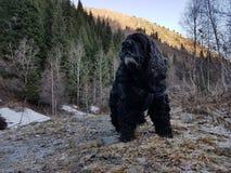 Negro cocker spaniel del perro fotos de archivo libres de regalías